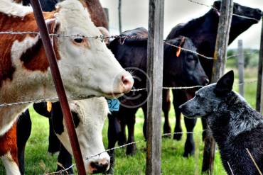Safe Environment for Farm Cows